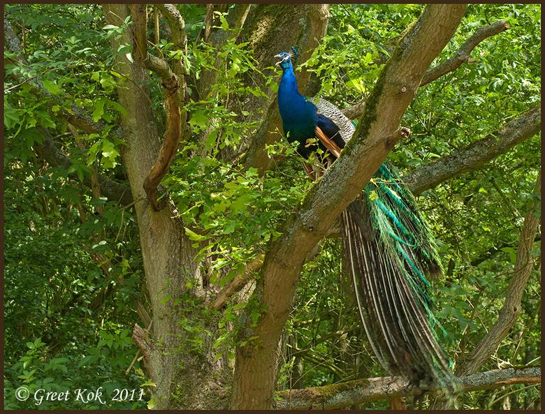 Pauw in de boom - Bij Panneland (AWD) lopen een paar Pauwen en gisteren zat er een in een boom.<br /> Ik had mijn macrolens op de camera maar hier mò