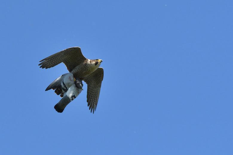 big catch - vorige week kon ik deze slechtvalk in de vlucht pakken op redelijke afstand met een flinke duif in zijn klauwen , iedereen bedankt voor de