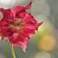 kerst roos 2