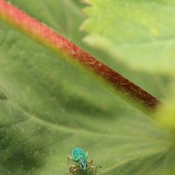 Groene bladsnuit kever