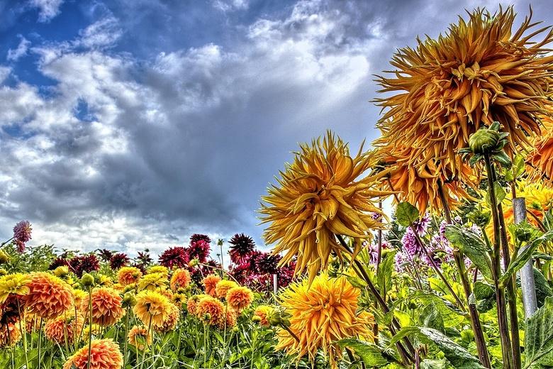 Flower power - Een veldje trotse dhalia's steekt hoog boven het maaiveld de kop op. Hier en daar nog te zien, voor zover ze door de wind nog niet