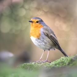 robin dreams