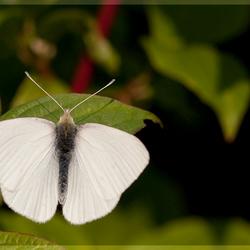 Albino Witje