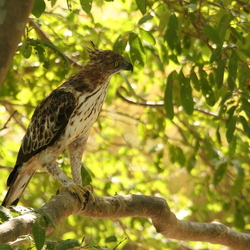 Indische kuifarend ( Crested Hawk Eagle )