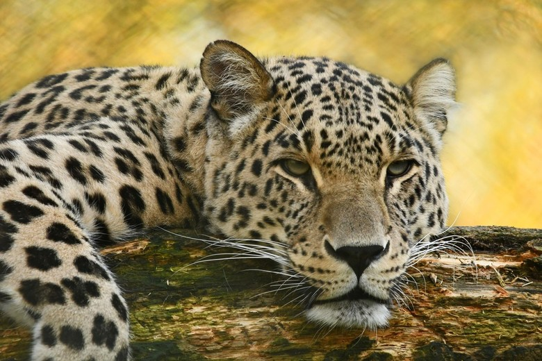 Slaperig - Ook het luipaard was slaperig.. ik wilde nog wat foto's maken maar een paar seconden na deze opname ging hij plat en kwam er alleen nog maa