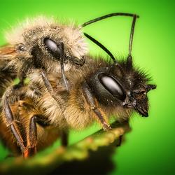 Parende bijen