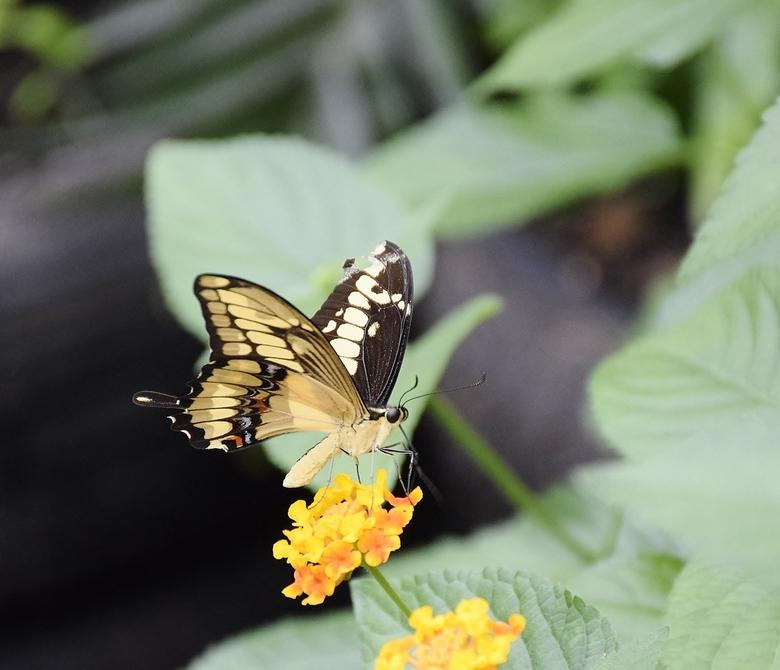 zwaluwstaartvlinder