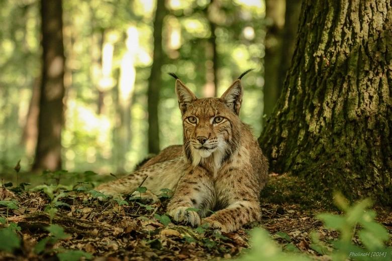 Beast in the bush (lynx)