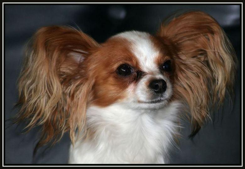 Chiwawa - Dit is Lexy,het hondje van mijn vriendin.Liefst in het vergroot bekijken.<br /> Iedereen bedankt voor het onverwachte aantal reacties van m