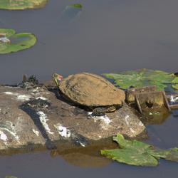 roodwang schildpad