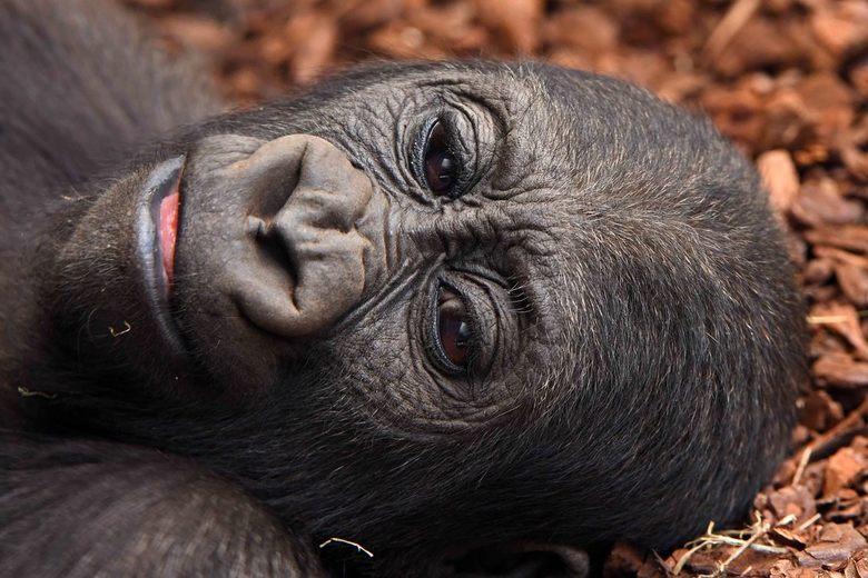 rare gorilla's - De gorilla-kleuter ligt vlak bij het glas van haar verblijf in Bioparc Valencia. Zij glimlacht vriendelijk tegen de rare gorilla&#039