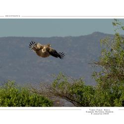 Tawny Eagle, Kenia