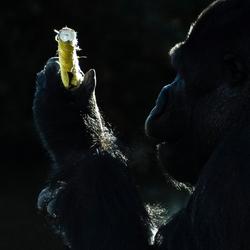 Low key Gorilla