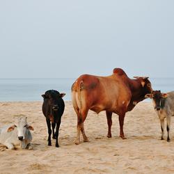 Posing cows @ Goa India