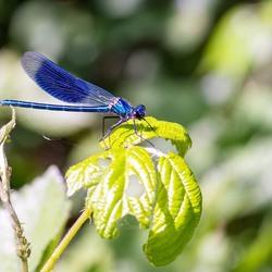 Royal blue juffertje