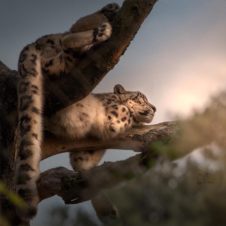Diepe slaap - Deze foto heb ik genomen in Planckendael Zoo (Belgie). Bewerkt in Photoshop.