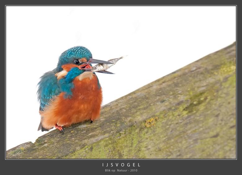 IJsvogel - Lastig, een dergelijke kleurrijke vogel tegen een witte achtergrond van sneeuw. Ook vandaag zat de volwassen man weer te vissen en kregen w