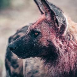 Wilde Hond, Sabi Sabi Game Reserve