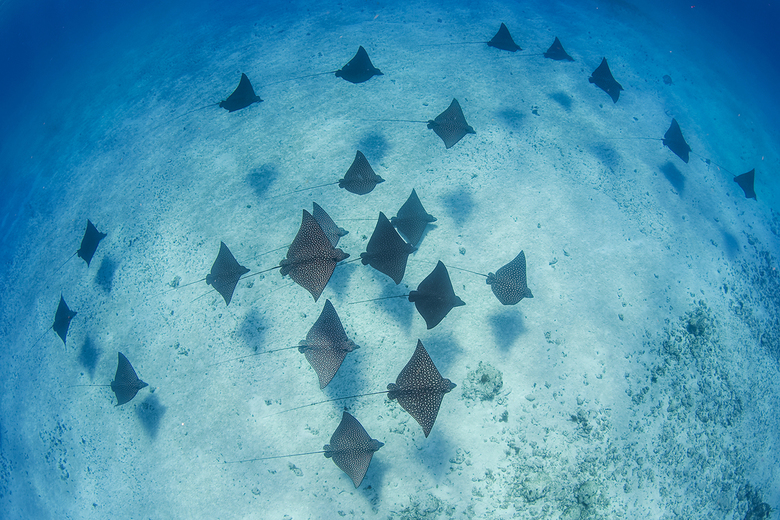 Spotted eagle rays - Gevlekte adelaarsroggen zwemmen bij in het heldere water van de Bahamas. Deze foto is genomen in samenwerking met 'Bimini Bi