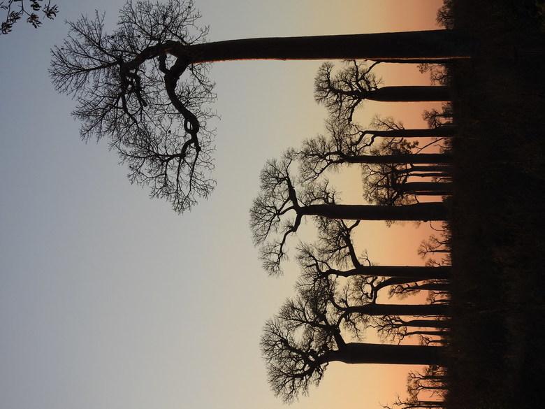 Allée des baobabs -