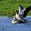 Grauwe gans (2)