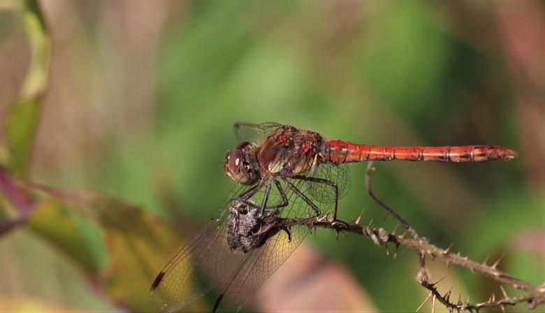 Bijna herfst - Bijna herfst, maar daar was vanmiddag geen sprake van! Heerlijk weer en de libelles genoten er ook nog van