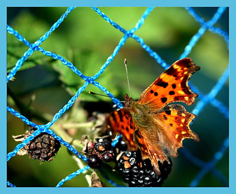 het is tijd om te snoepen........ - Gisteren vlogen de vlinders af en aan op de bramenstruik. Dus ik kon me uitleven maar het lukte niet vaak om ze mo