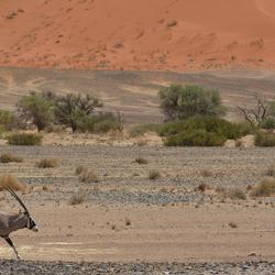 Spitsbok in Sossusvlei, Namibie