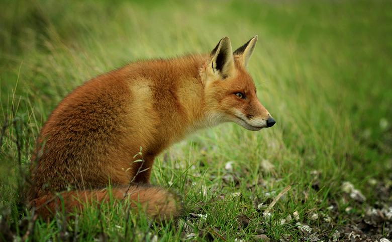 Intruder - Deze jonge vos probeert regelmatig binnen te dringen in het gebied van de zogenaamde rugzakvossen. Zodra deze vos wordt opgemerkt wordt dez