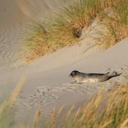 Zeehond op het strand van ameland