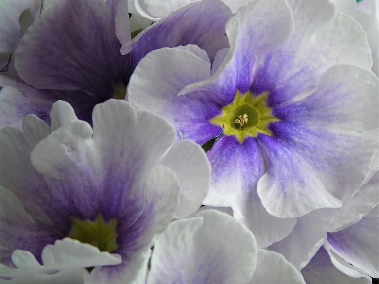 Primula Obcon.. - Beetje vals gespeeld bij het tuincentrum deze bloem gehaald en er mee aan de slag gegaan.<br /> <br />
