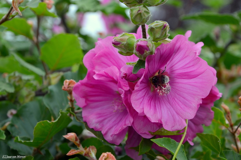 Bloem Hommel - Hommel in de bloem