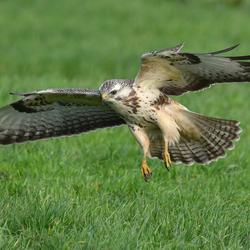 Buizerd (1), de landing is ingezet