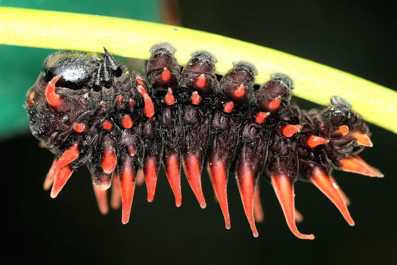 rupsje roodgenoeg - Dit kleine rupsje zat verstopt onder een blaadje in de vlindertuin in Leidschendam<br /> <br />