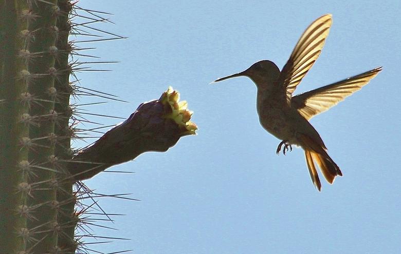 Kolibri - Kolibri op Bona Bista