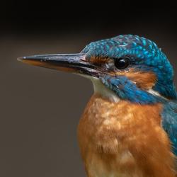 IJsvogel portretje