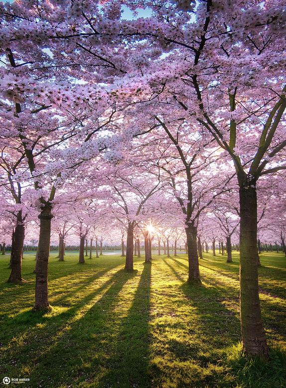 Blossom park - Het bloesempark in Amstelveen