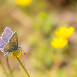 Icarusblauwtje op boterbloem