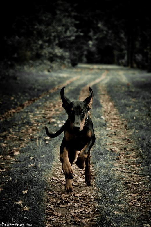 RUN - Mijn lieve dober pup naar mij toe rennend, was lastig om te maken aangezien ze liefst zo dicht mogelijk bij me loopt.