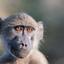 Jonge baviaan is niet onder de indruk