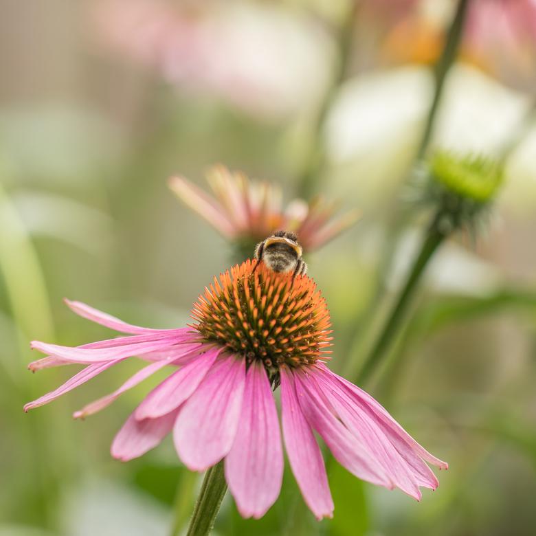 Echinacea -