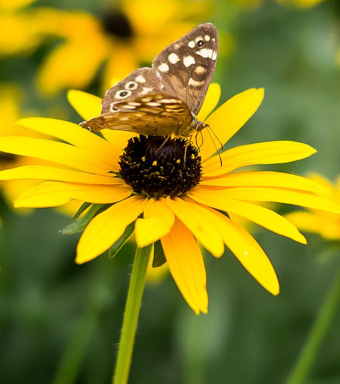 Bont zandoogje op de zonnehoed - Ik dacht eens kijken of ik paddestoeltjes zie, kom ik alleen maar vlinders tegen!
