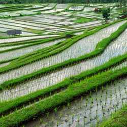 Rijst terrassen