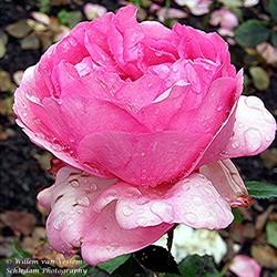 Roos na de regen in het park