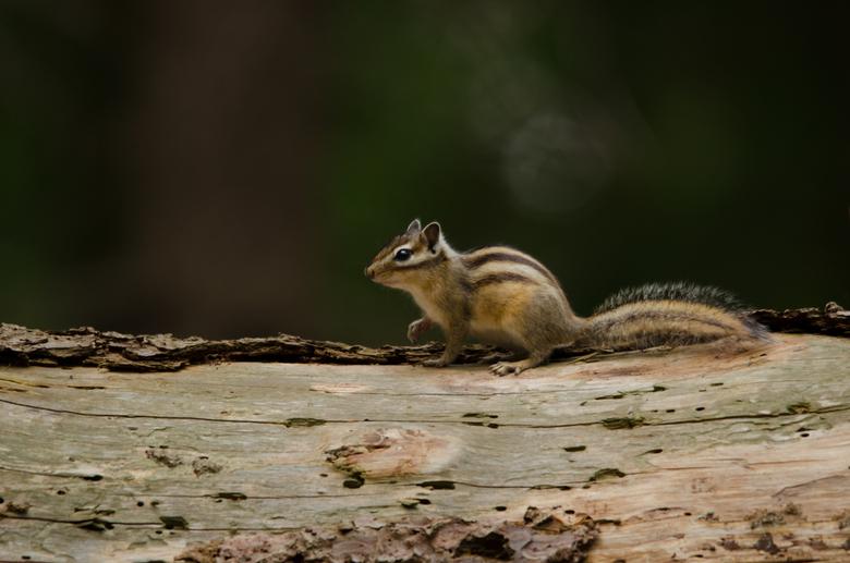 Chipmunk - Afgelopen weekend even bij de Syberische grondeekhoorns wezen kijken. Pff wat een snelle rakkers zijn dit zeg; maar deze wilde wel even pos