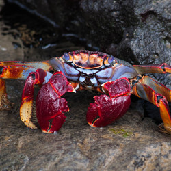 HEMA kleurige krab