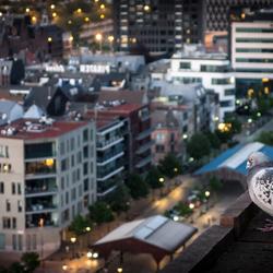 Antwerpen - Batman duif