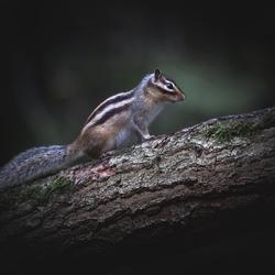siberische eekhoorn