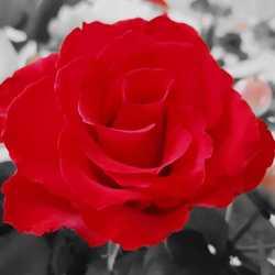 De uitverkoren roos
