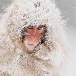 Snow monkey in sneeuwstorm